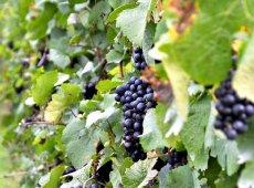 Grapes Wine Tour