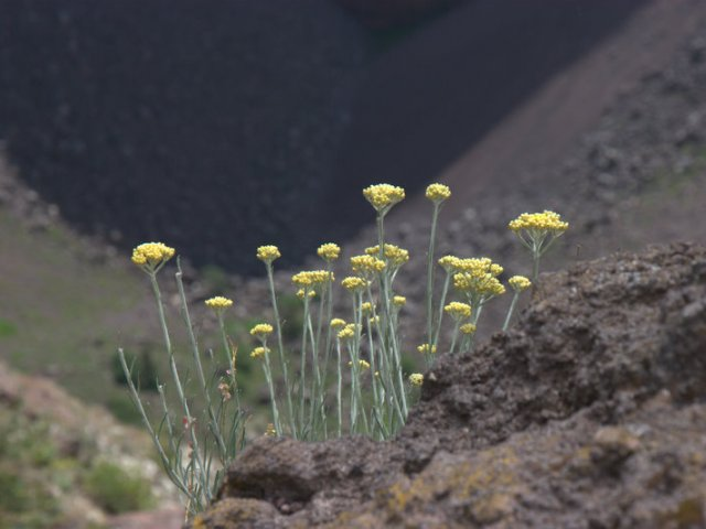 vesuvius flowers view